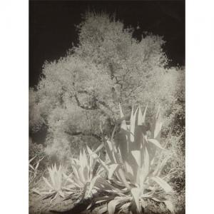 Maurice Tabard - Oliviers Et Agaves, Infra-rouge No. Ii